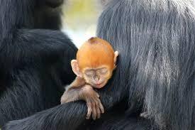 Rare bright orange monkey born in Australian zoo