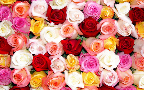 The Meaning of Every Rose Color